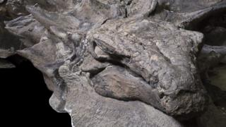 Cabeza fosilizada de norosaur