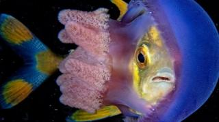 嵌在海蜇身體裏的魚