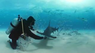 Mergulhadores alimentam tubarões