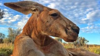 Roger, a kangaroo