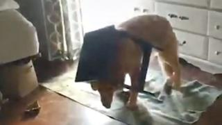 Dog with table stuck on his head