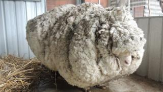 Chris the sheep with his heavily overgrown fleece
