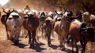 Les vaches sont un bien précieux dans de nombreuses régions rurales d'Afrique