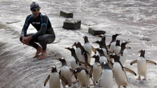 Rob Thomas, the conservation and research manager for the Royal Zoological Society of Scotland swims at the penguin enclosure