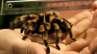 Tarantula on a hand being measured by a ruler