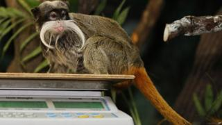 An emperor tamarin sitting on some weighing scales.