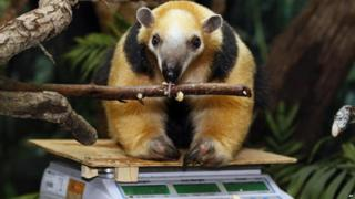 A tamandua licks a branch as it sits on some weighing scales.