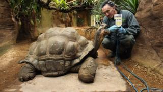 A Galapagos turtle stands on a scale whilst a zoo keeper holds up the scales digital display.