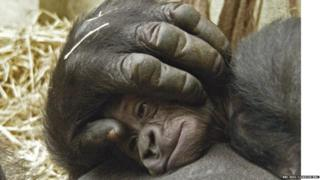 Baby gorilla on mother's chest