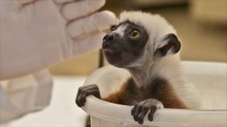 Coquerel's sifaka baby in weighing tub