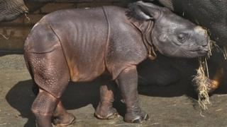 Baby Indian rhinoceros with mother