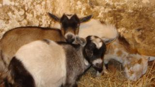 The pygmy goats