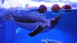 Penguins bobbing for apples at London Zoo
