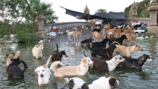 Thousands of pets including loads of dogs have been stranded in the floods.