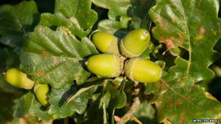 close up of acorns