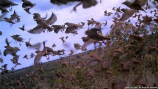 Flight of the red-billed Quelea