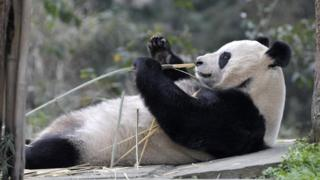 Panda lying down eating bamboo