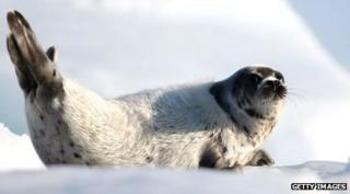 Harp seal pup lying on ice