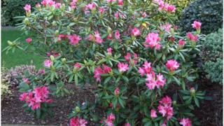 Pink flowers starnd out against lush green leaves and grass
