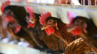 Hens in the past were kept in cramped and hot conditions