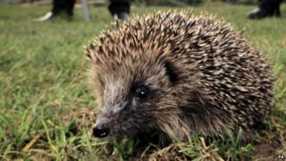 Numbers of Hedgehogs are thought to be on the way down in Britain