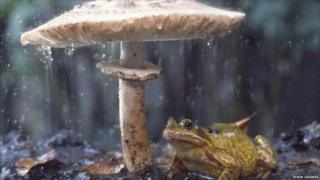 Frog sheltering from the rain on toadstool