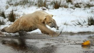 Polar bear jumps in water