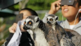 Ring-tailed lemurs look on as children view a solar eclipse at the Japan Monkey Center in Inuyama city.