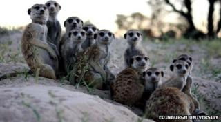 Meerkats in a group