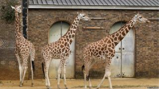 Three giraffes stand near a giant measuring tape.