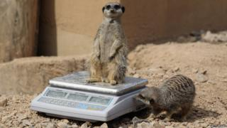 A meerkat stands on a weighing scales while another sniffs it.