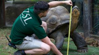 A giant tortoise is measured at London Zoo.