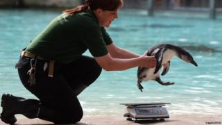 A zoo keeper lifts a penguin onto a weighing scales.