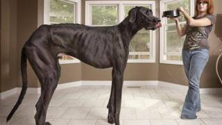 Largest dog in the world, a Great Dane called Zeus, being fed.