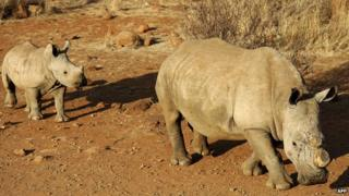 Rhino with baby