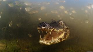 Into the mouth of the caiman (c) Luciano Candisani