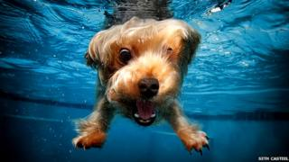 A golden pooch takes the plunge