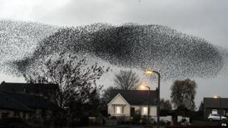 Starlings flocking in the sky.