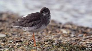 Feeding habits of the common redshank were studied
