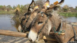 Two donkeys in Botswana with tags on their ears