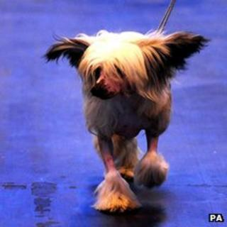 A dog at Crufts