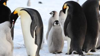 Penguin chicks with their parents