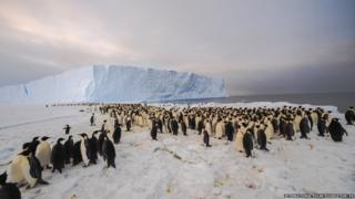 The penguin colony in front of an ice cliff.