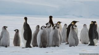 A group of penguins together