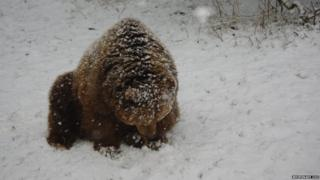 A brown bear at Whipsnade Zoo