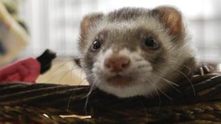 A ferret in a basket