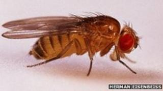 Fruit flies like this one were sent into space in 1947