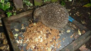 Appropriate food for a hedgehog