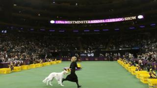 A hound runs during the Westminster Kennel Club Dog Show