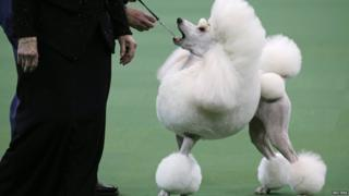 A Standard Poodle is judged during competition in the Non-Sporting Group